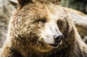 Španělské silný hnědý medvěd — Stock fotografie