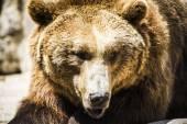 Испанский сильный бурый медведь — Стоковое фото