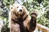 Bear waving — Stock Photo