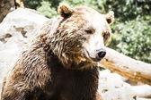 Spanish powerful brown bear — Stock Photo