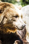 西班牙强大棕熊 — 图库照片