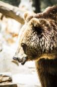 Spanish powerful brown bear — Stock Photo