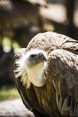 Scavenger vulture — Stock Photo
