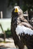 Spanish golden eagle — Stock Photo