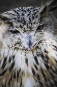 Beautiful owl — Stock Photo