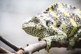 Chameleon uploaded to a branch — Foto Stock
