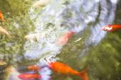 Group of orange carp in water — Stock Photo