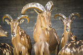 Beautiful group of Spanish ibex — Stock Photo