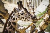 Giraffe in a zoo park — Stock Photo