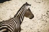 Zebra in a zoo park — Stock Photo