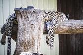 White leopard resting in the sun — Foto Stock