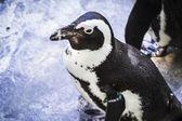 Penguin resting in the sun — Stock Photo