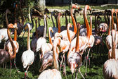 Group of flamingoes — Stock Photo