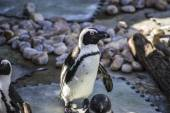 Funny penguin sun in a peer group — Stock Photo