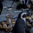 Pinguin in einer Peer-Gruppe — Stockfoto #65324479