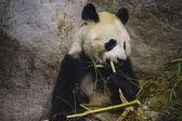 Panda bear eating bamboo — Stock Photo