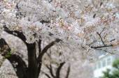 White Sakura or Japan cherry blossom branches, which will fully  — Stock Photo