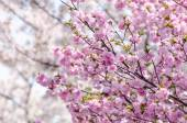 Sakura or Japan cherry blossom branches, which will fully bloomi — Stock Photo