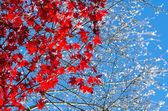 Shikizakura, winter sakura with red maple leaves in Obara, Toyot — Stock Photo