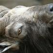 Goat head — Stock Photo #55338983