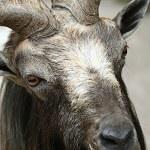 Goat head — Stock Photo #55338995