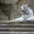 White albino tiger — Stock Photo #55339969