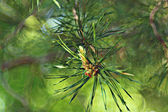 Pine needles branch — Stock Photo