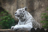 White albino tiger — Stock Photo