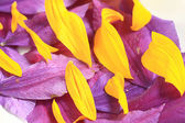 Yellow and purple flower petals — Stock Photo