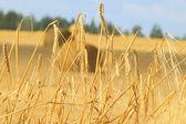 Wheat on farm field — Stock Photo