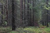 Dense spruce forest — Stock Photo