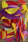 Multicolored flower petals — Stock Photo