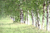 Birches in the park — Stock Photo