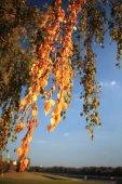 Foglie di betulla autunno — Foto Stock