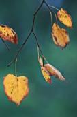 Podzimní listí linden — Stock fotografie