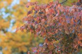 Autumn leaves on branch — Stock Photo