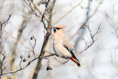 Waxwing on branches — Stock Photo