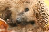 Hedgehog in forest — Foto de Stock