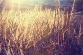 Yellow grass background — Stock Photo