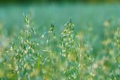 Oats field texture — Stock Photo