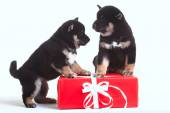 Shiba inu puppies with gift — Stock Photo