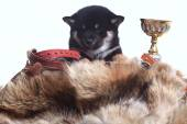 Shiba inu puppy — Stock Photo