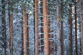 Pine  trees in winter forest — Stock Photo