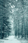 Pine forest in winter — Stock Photo