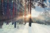 Pineta d'inverno — Foto Stock