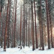 Pine forest in winter — Stock Photo #67910635