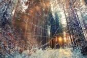 Bosque de pinos de invierno — Foto de Stock