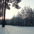 Pine forest in winter — Stock Photo #67960443