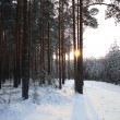 Pine forest in winter — Stock Photo #67960461