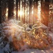 Pine forest in winter — Stock Photo #67960477